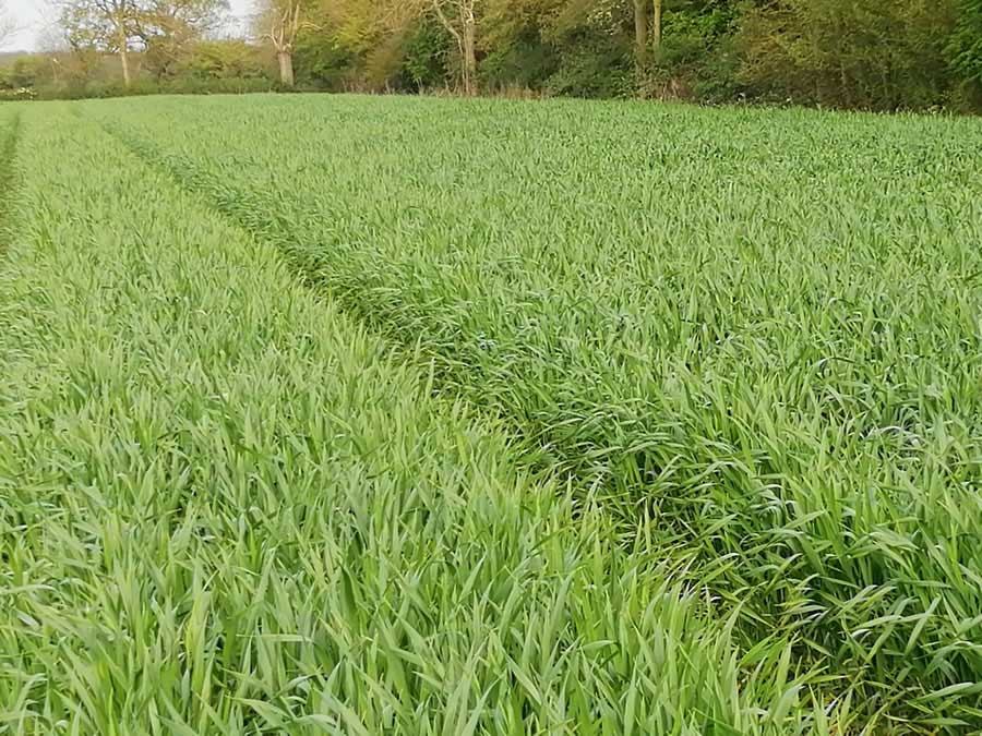 SENOVA Fido Triticale direct drilled into wheat stubble Oct 16th completely smothered black grass. Triton and AminoA give valuable extra options